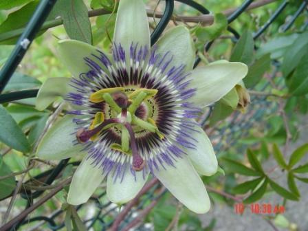 20071111135245-29pasiflora.jpg