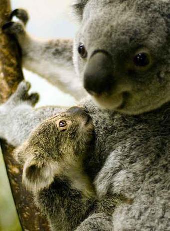 20080405101120-koala-australiano-peligro.jpg