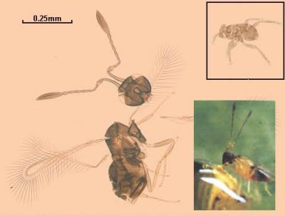 Descubren el insecto más grande del mundo 20090805114409-dicopomorpha-echmepterygis