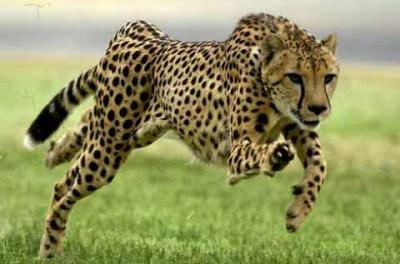 20090820113337-guepardo.jpg