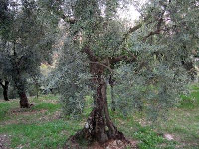 20091111115830-olivo-trano.jpg