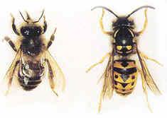 20110821121726-abella-avispa.jpg