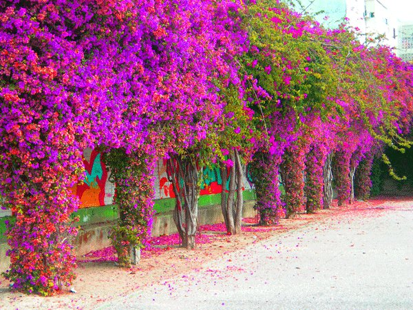 20120115095526-a-buganvilla.jpg