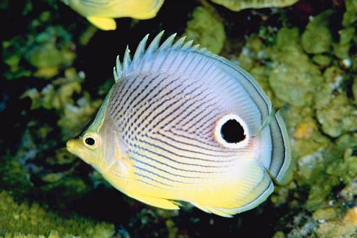 20120208172925-peixe-mariposa-de-catro-ollos1.jpg