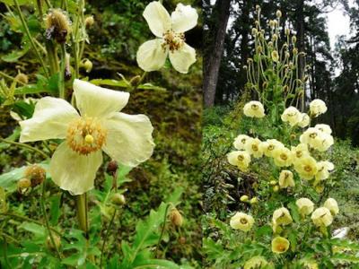 20120829114757-amapola-otonal-nepali-meconopsis-autumnales-.jpg