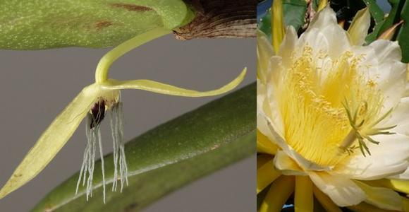20120829125900-bulbophyllum-nocturnum.jpg