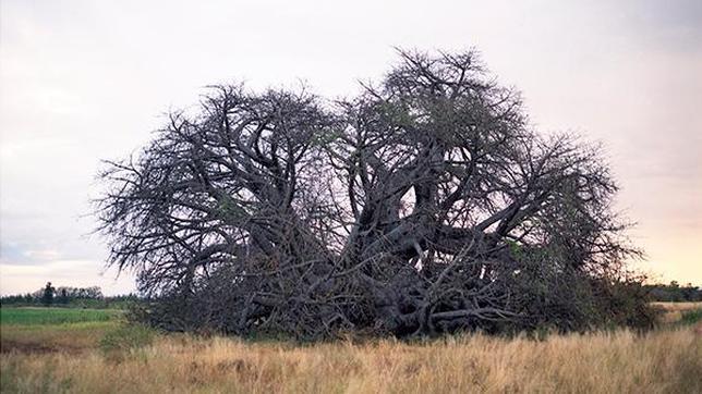20130405101724-baobab.jpg