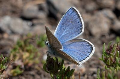 20130809174610-polyommatus-golgus.jpg