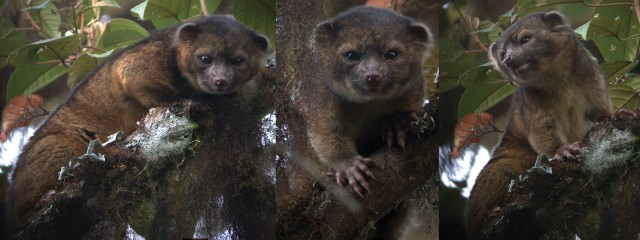 20130816121000-olinguito-long.jpg