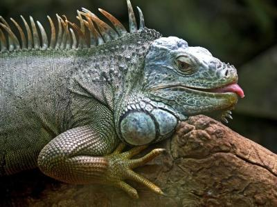 20170118185333-iguana.jpg