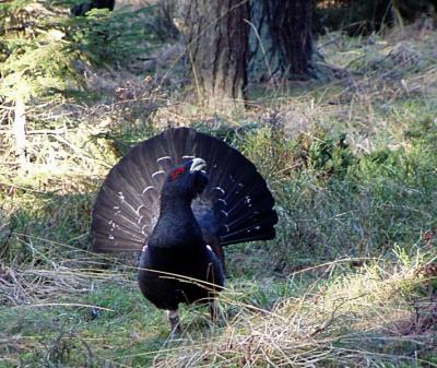 20080330102612-711px-capercaillie-lomvi-2004.jpg
