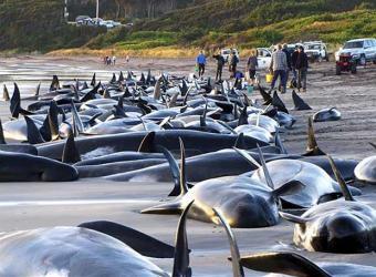 20090303103758-ballenas-varadas-sur-australia.jpg
