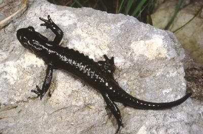 20090811165700-salamandra-atra.jpg