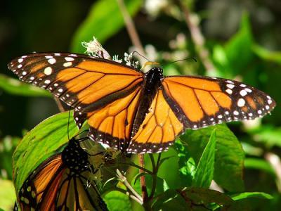 20100113164255-monarca.jpg