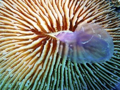 20100126190225-coral-de-israel.jpg