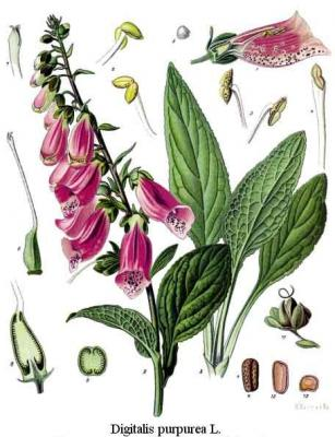 20100822214150-digitalis-purpurea.jpg