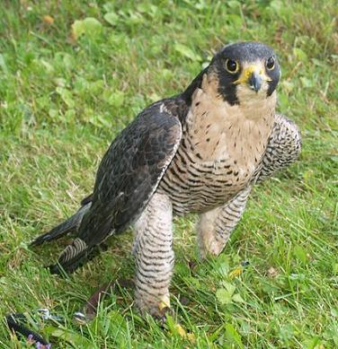 20110108185008-falcon-peregrino2.jpg