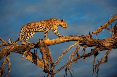 20110606193346-leopardos02-714x473.jpg