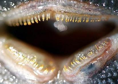 20120825123554-dentes-peixe-gato.jpg