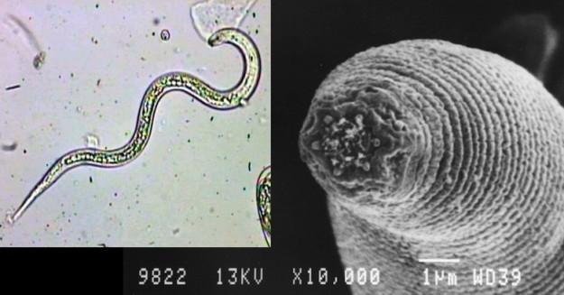20120829123425-halicephalobus-mephisto.jpg