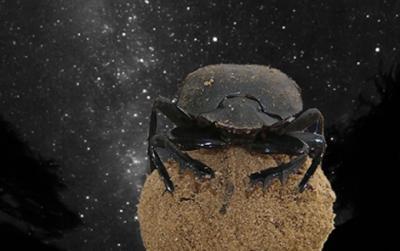 20130125230129-escaravello-peloteiro.jpg