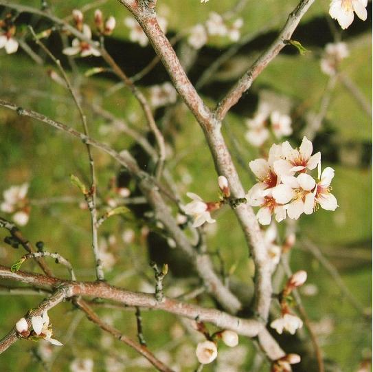 20130228223349-arbol-flor-almendro.jpg