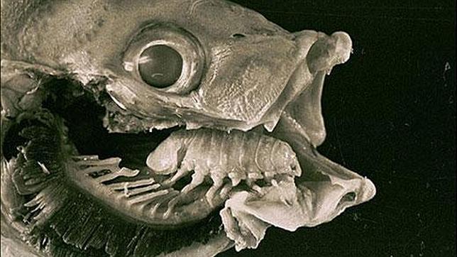 20130305174309-parasites-cymothoa-exigua.jpg
