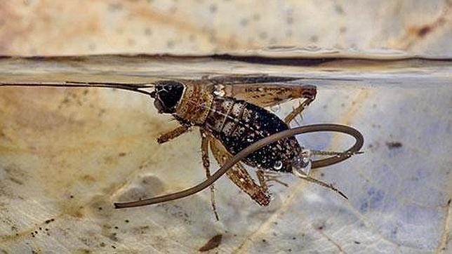 20130314180256-parasito-paragordius-tricuspidatus-.jpg