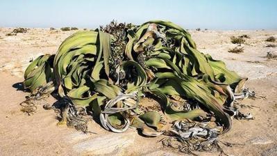 20130325171306-welwitschia-.jpg