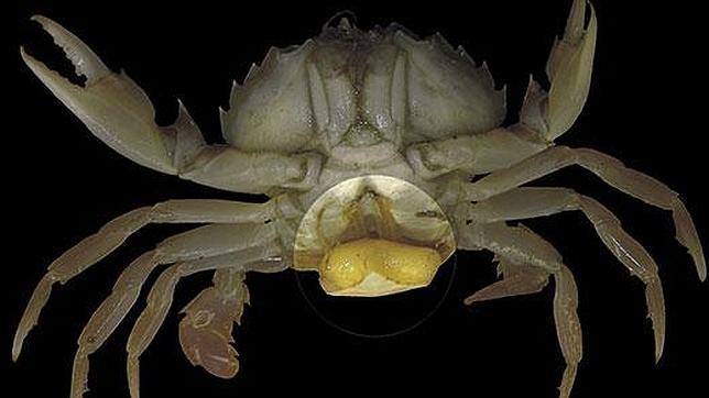 20130329152703-parasito-sacculina-carcini.jpg