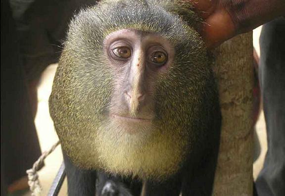 20130710195731-lesula-monkey1.jpg