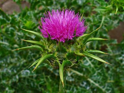 20140212184316-cardo-mariano-flor.jpg