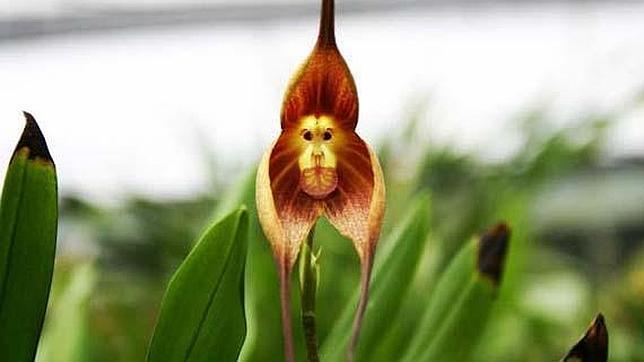 20140305102541-orquidea-dracula-simia-.jpg