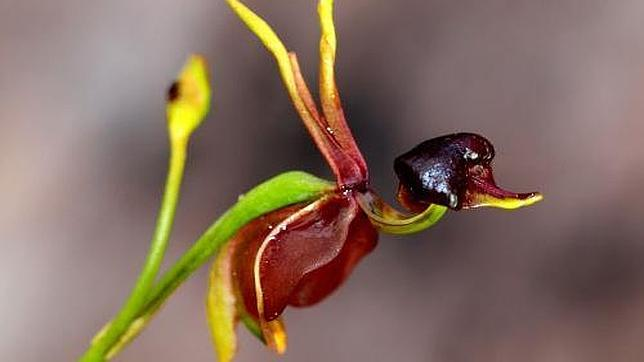20140325194300-flying-duck-orchid1-644x362.jpg