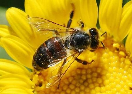 20140717182633-fotos-de-las-abejas-meliferas-nb16553.jpg