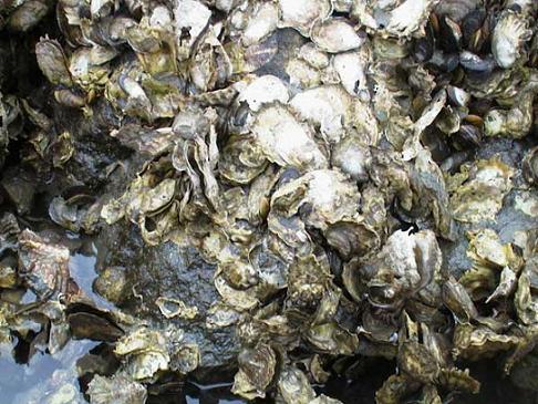 20150930192349-ostra-comun-crassostrea-virginica.jpg