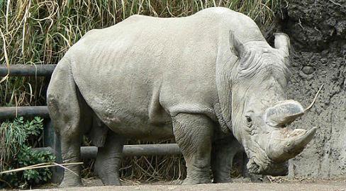 20151205091649-rinoceronte-blanco.jpg