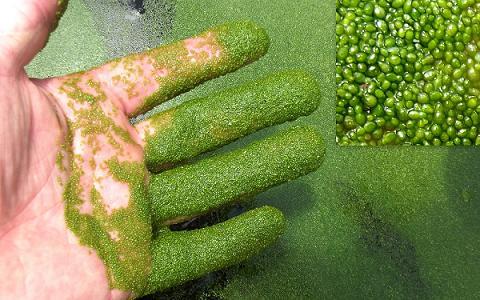 20160327194324-wolffia-arrhiza-live-plant-culture-fish-fry-food.jpg
