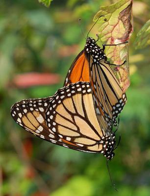20160704195903-mariposa-monarca-apareamiento.jpg