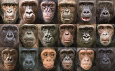 20160706082625-la-diversidad-genetica-entre-grandes-simios-es-mayor-que-entre-humanos-image-380.jpg