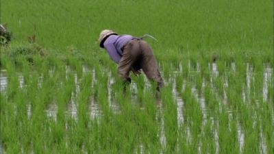 20160711112904-711265532-escardar-algo-las-malas-hierbas-agacharse-campo-de-arroz-cultivo-de-arroz.jpg