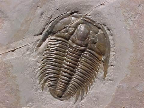 20170112131445-trilobite.jpg