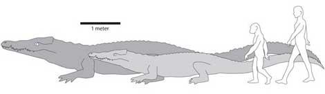Comparativa del tamaño del cocodrilo primitivo, los ancestros humanos y nuestra especie. |Chris Brochu