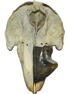 Fósil del cráneo.